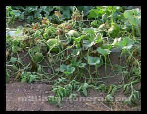 Cultivo de melón sin tutoreo.