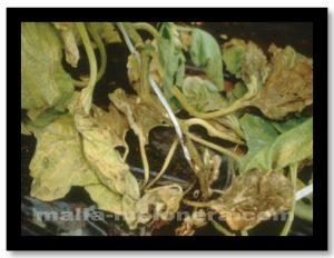 Marchitez y pudrición son algunas señales que expresa la planta una vez infectada por hongos, virus o bacterias.