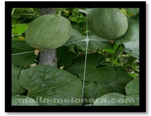 Malla melonera, mejora la calidad de los frutos