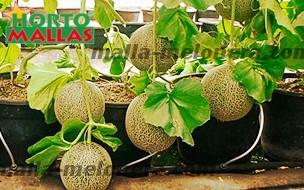 entutorado de melones