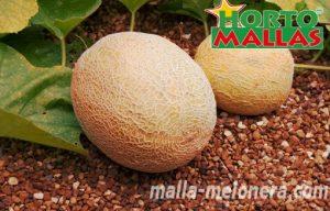 Tutoreo en cultivo de melones